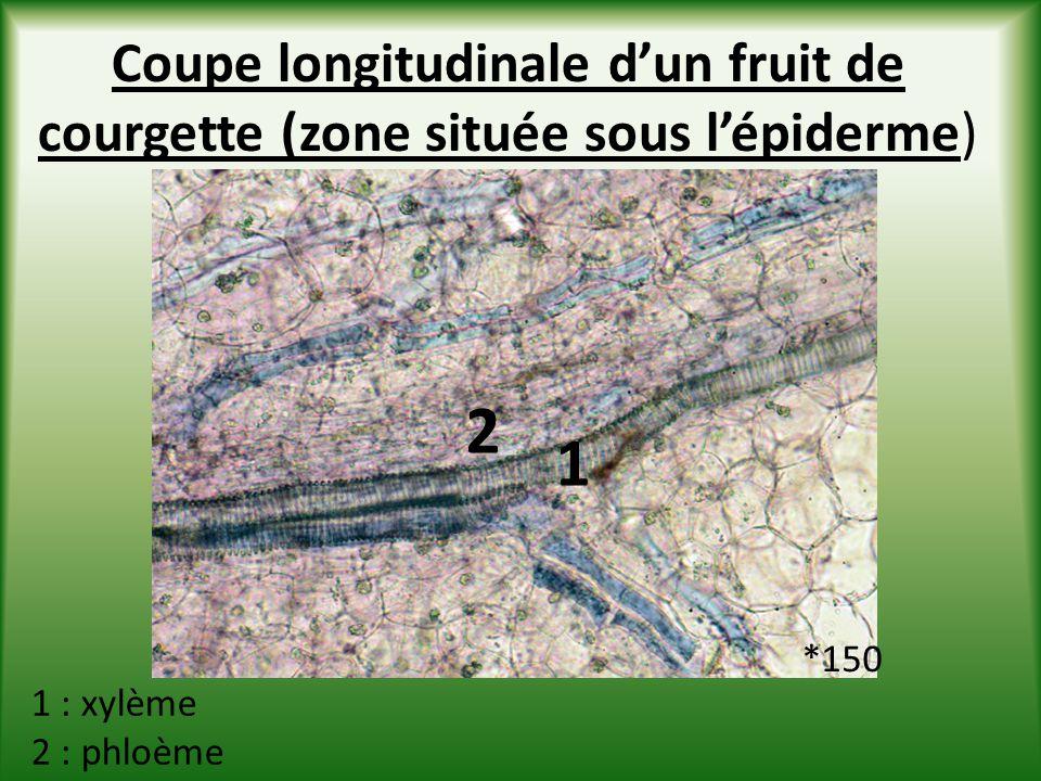 Coupe longitudinale d'un fruit de courgette (zone située sous l'épiderme)