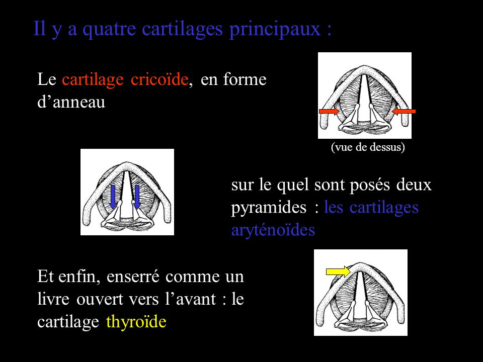 Il y a quatre cartilages principaux :
