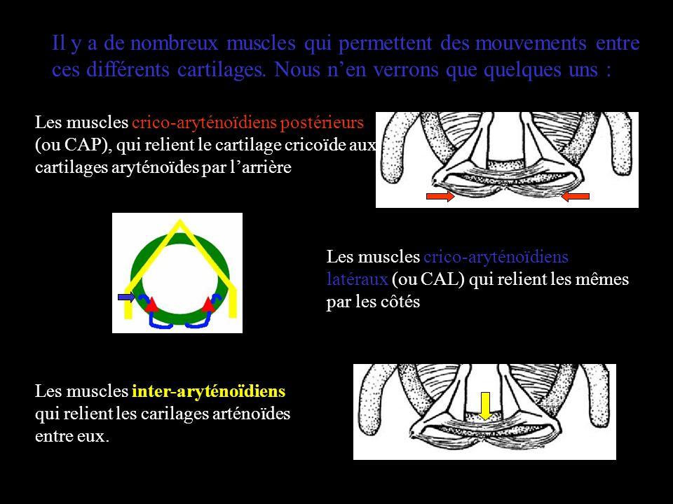Il y a de nombreux muscles qui permettent des mouvements entre ces différents cartilages. Nous n'en verrons que quelques uns :