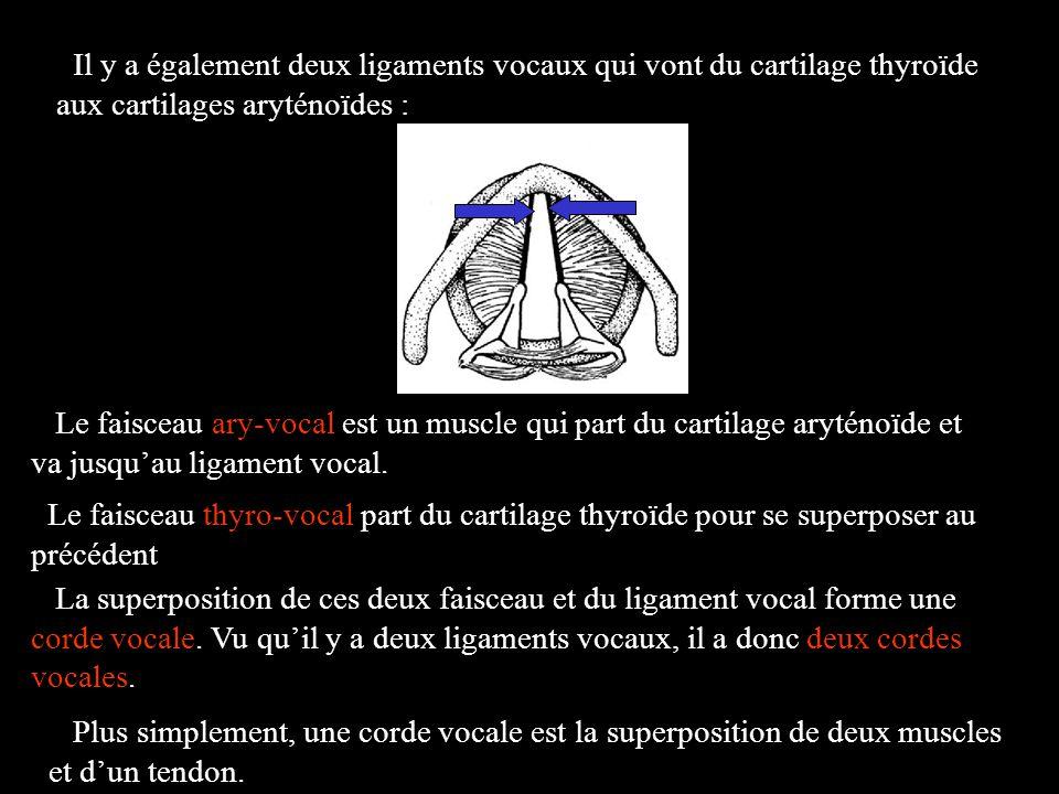 Il y a également deux ligaments vocaux qui vont du cartilage thyroïde aux cartilages aryténoïdes :
