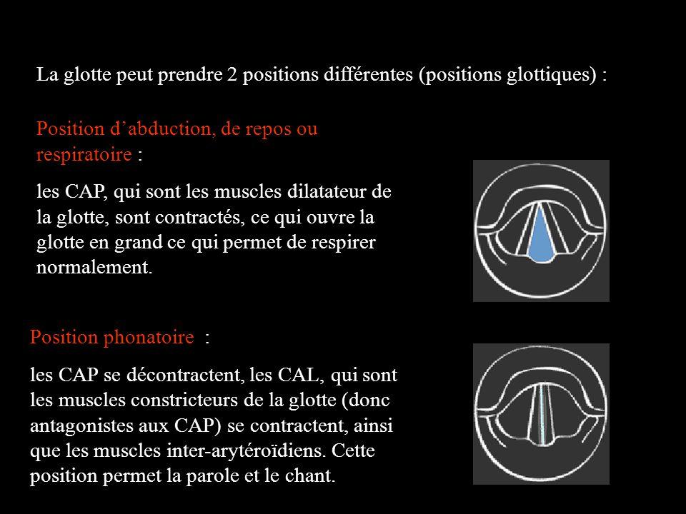 La glotte peut prendre 2 positions différentes (positions glottiques) :