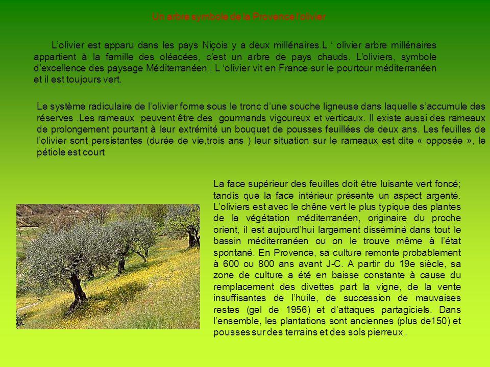 Un arbre symbole de la Provence l'olivier