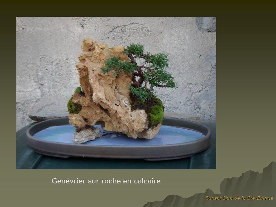 Genévrier sur roche en calcaire