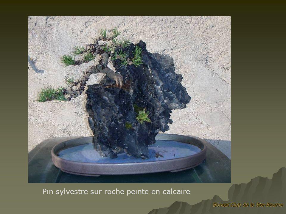 Pin sylvestre sur roche peinte en calcaire