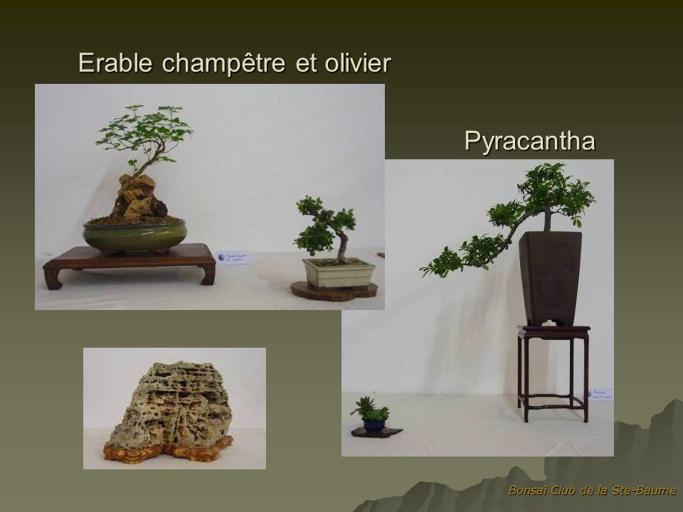 Erable champêtre et olivier