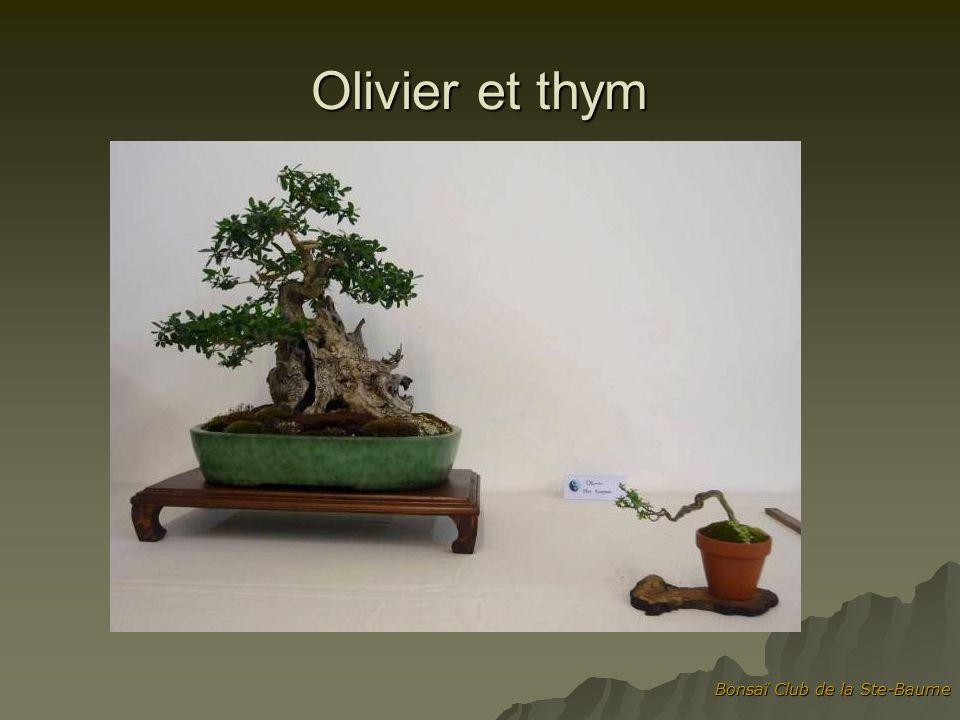Olivier et thym Bonsaï Club de la Ste-Baume