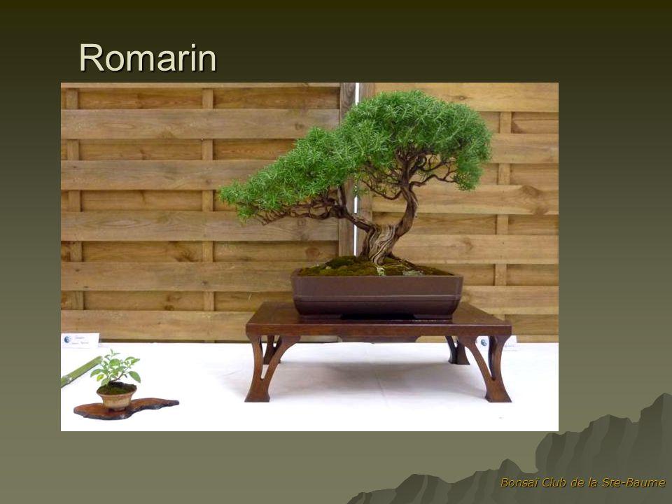 Romarin Bonsaï Club de la Ste-Baume