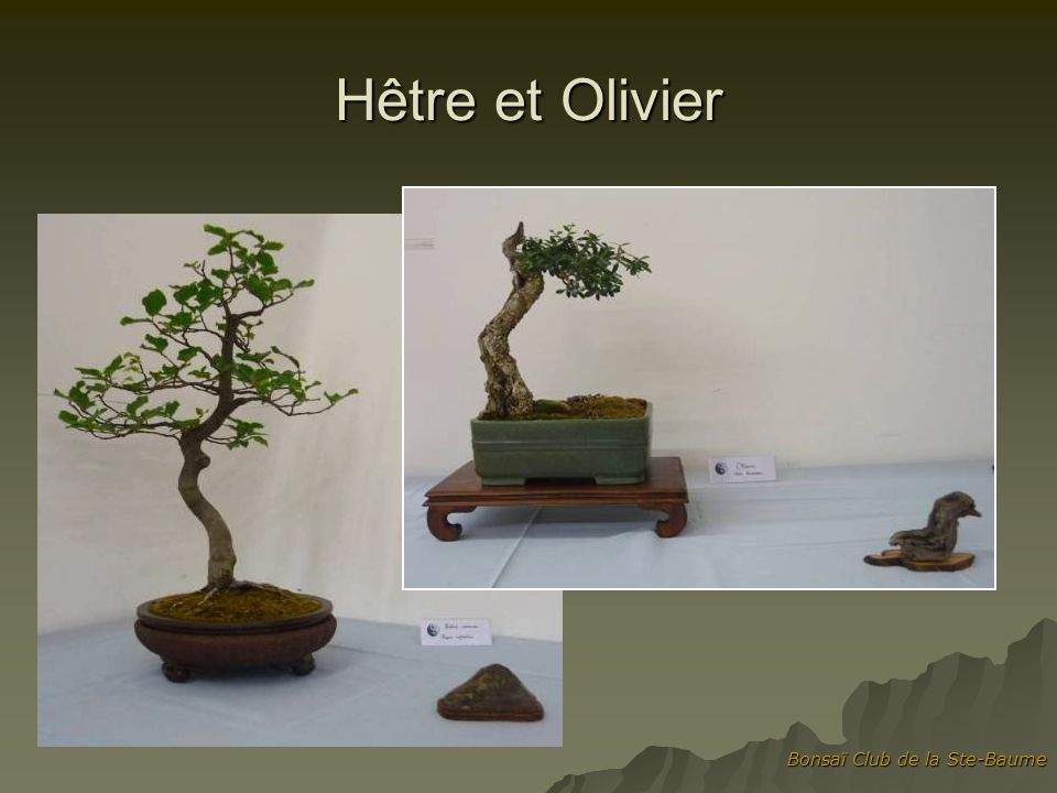 Hêtre et Olivier Bonsaï Club de la Ste-Baume