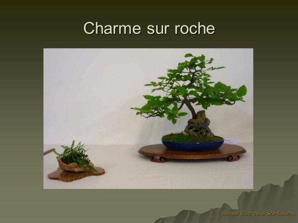 Charme sur roche Bonsaï Club de la Ste-Baume