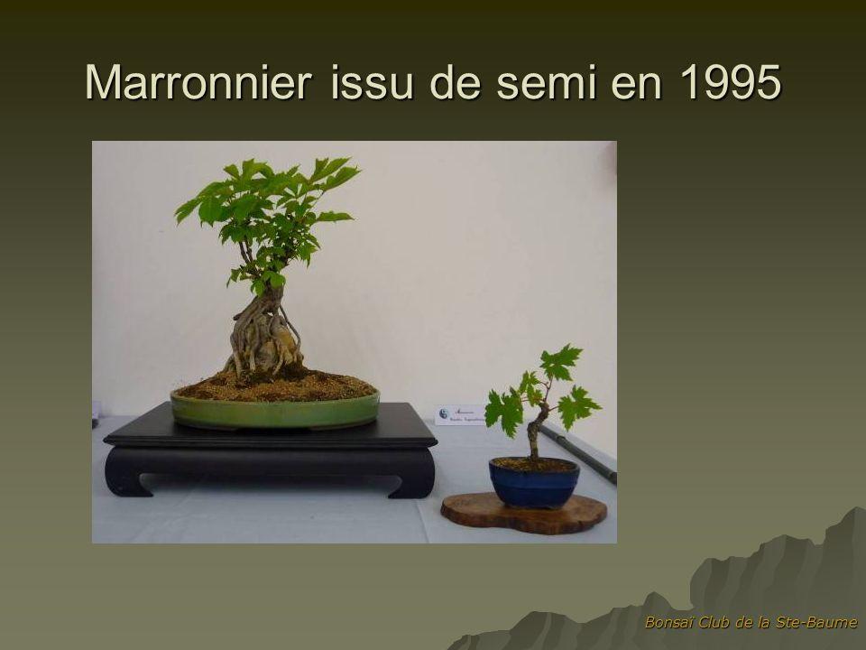 Marronnier issu de semi en 1995