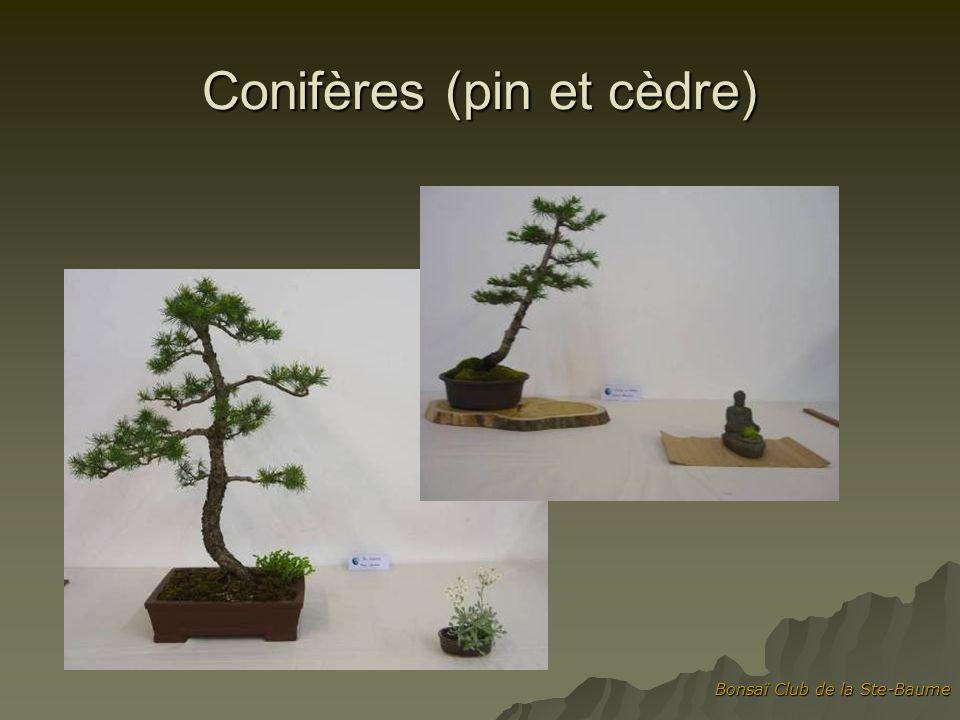 Conifères (pin et cèdre)