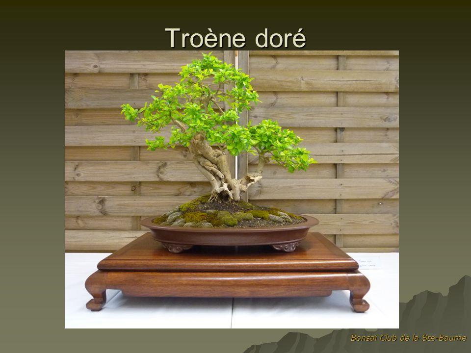 Troène doré Bonsaï Club de la Ste-Baume