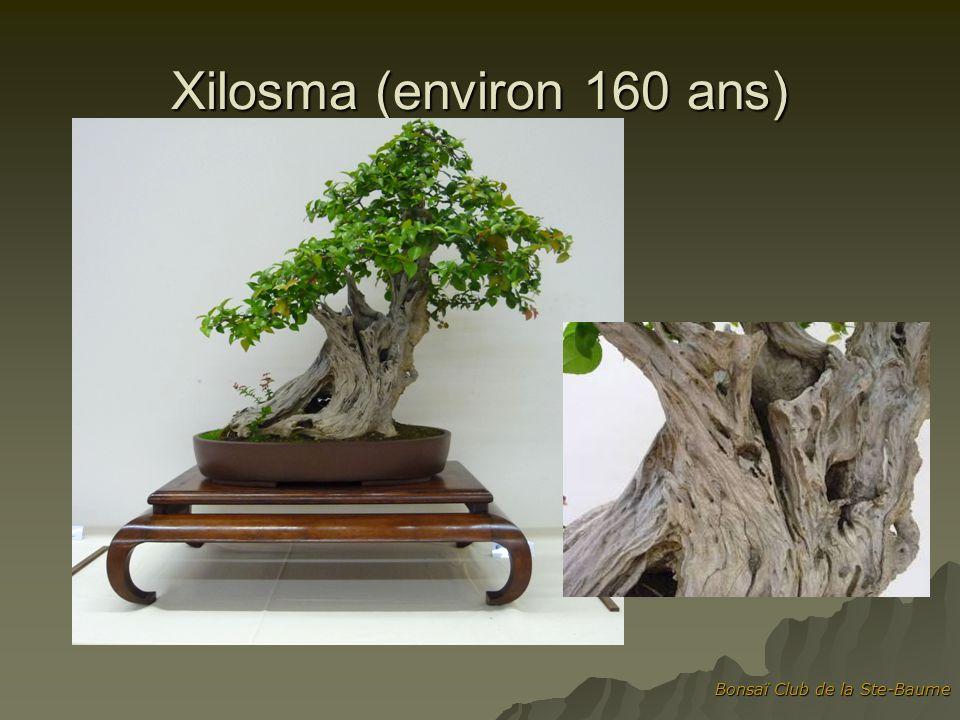 Xilosma (environ 160 ans) Bonsaï Club de la Ste-Baume
