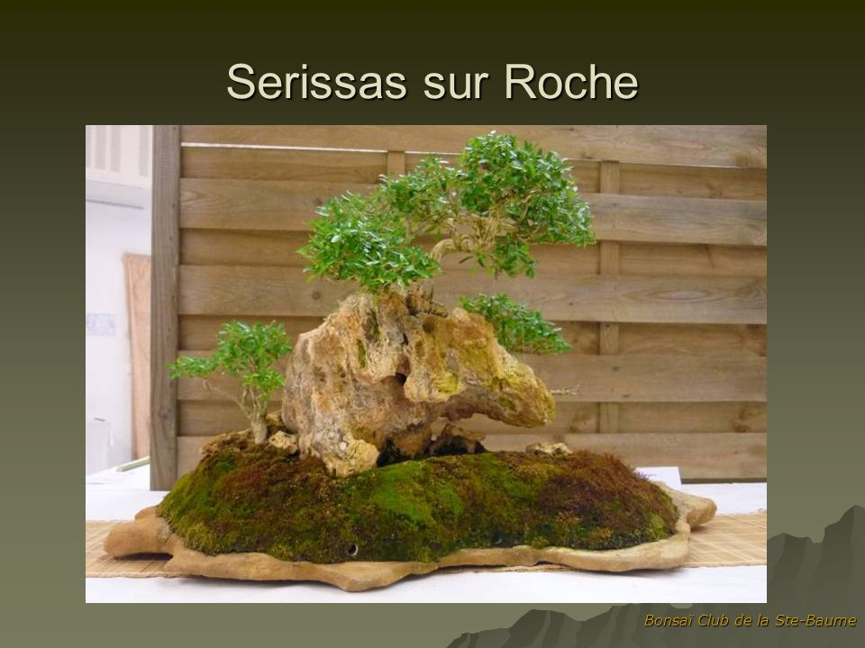 Serissas sur Roche Bonsaï Club de la Ste-Baume