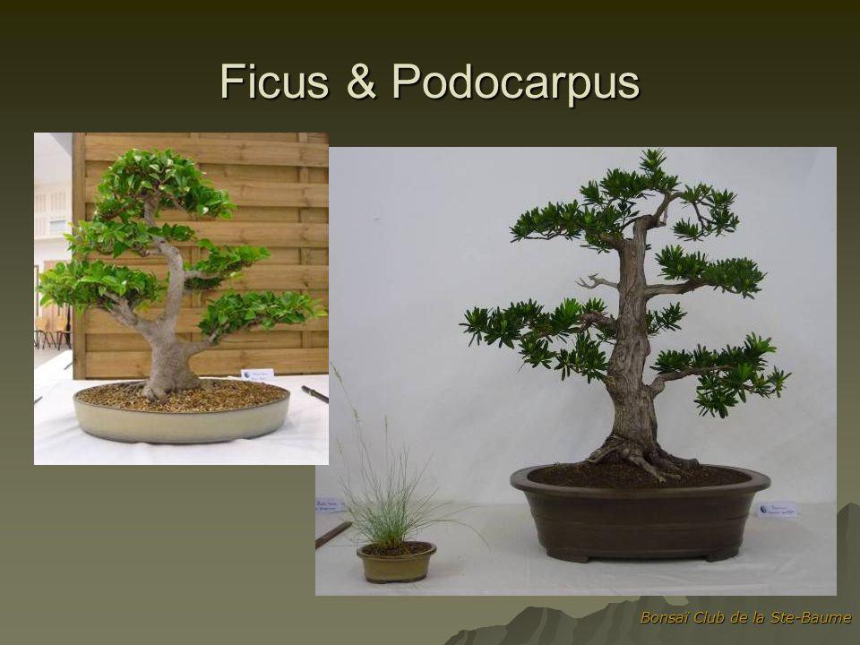 Ficus & Podocarpus Bonsaï Club de la Ste-Baume