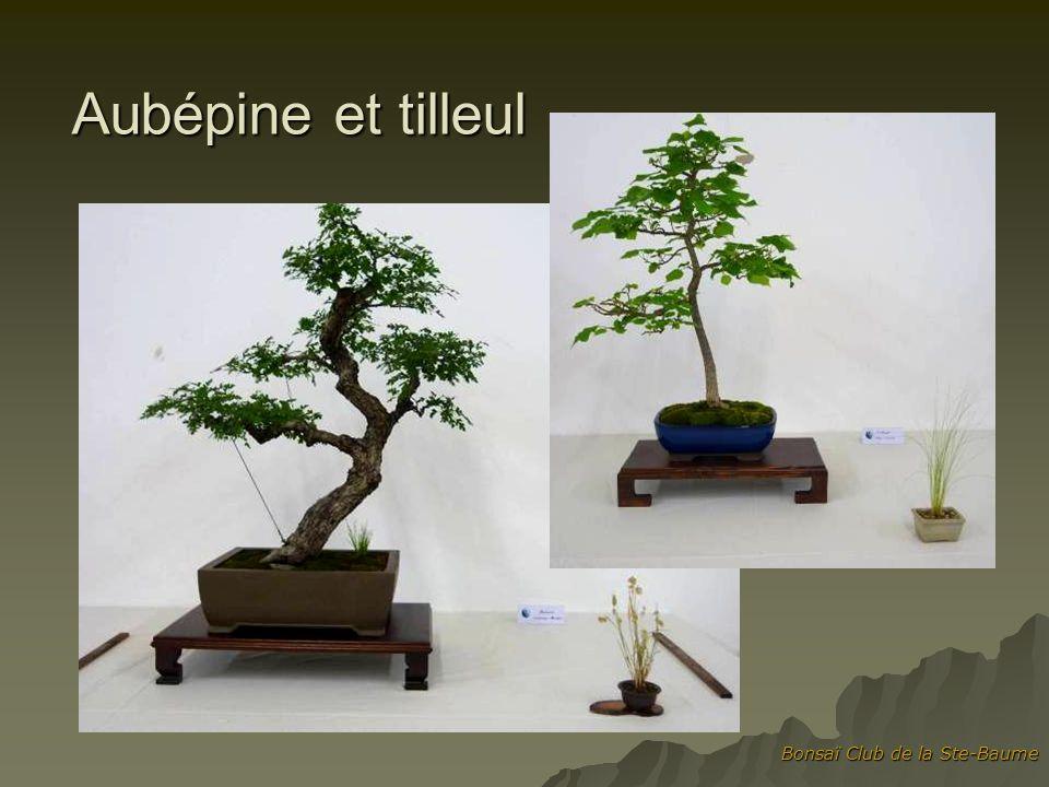 Aubépine et tilleul Bonsaï Club de la Ste-Baume