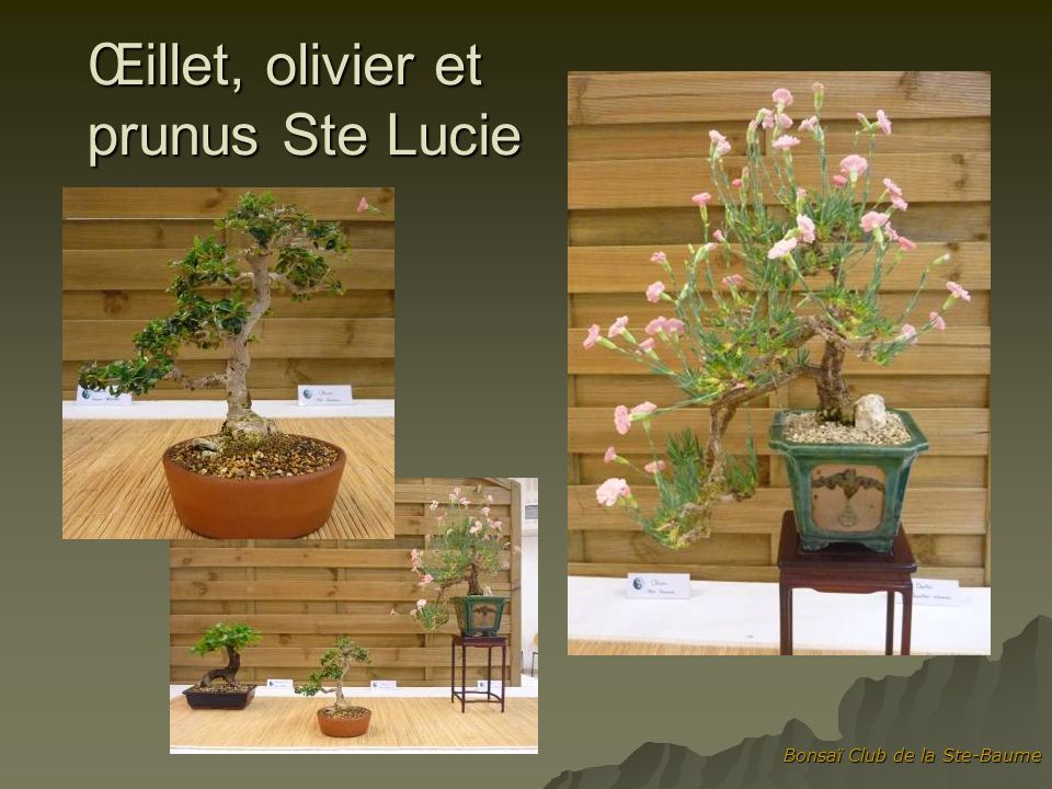 Œillet, olivier et prunus Ste Lucie