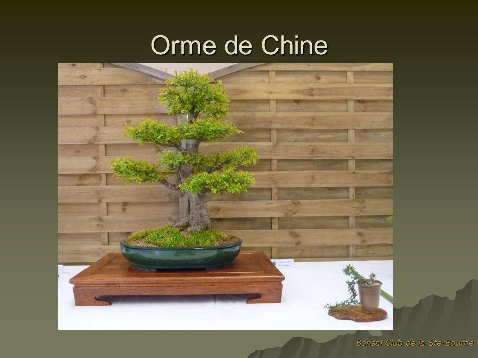 Orme de Chine Bonsaï Club de la Ste-Baume