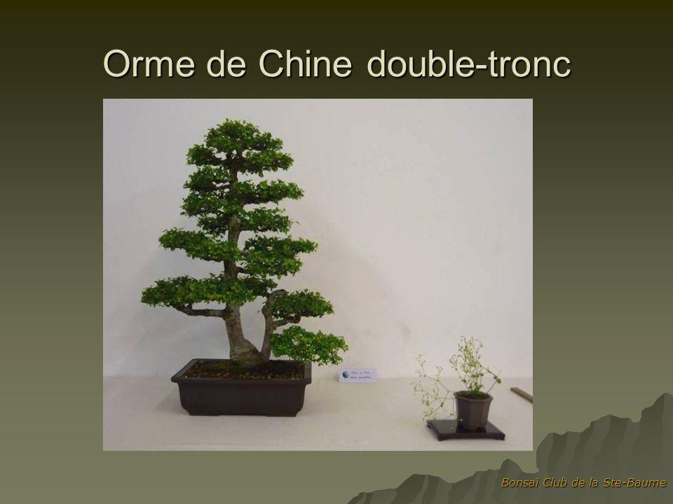 Orme de Chine double-tronc