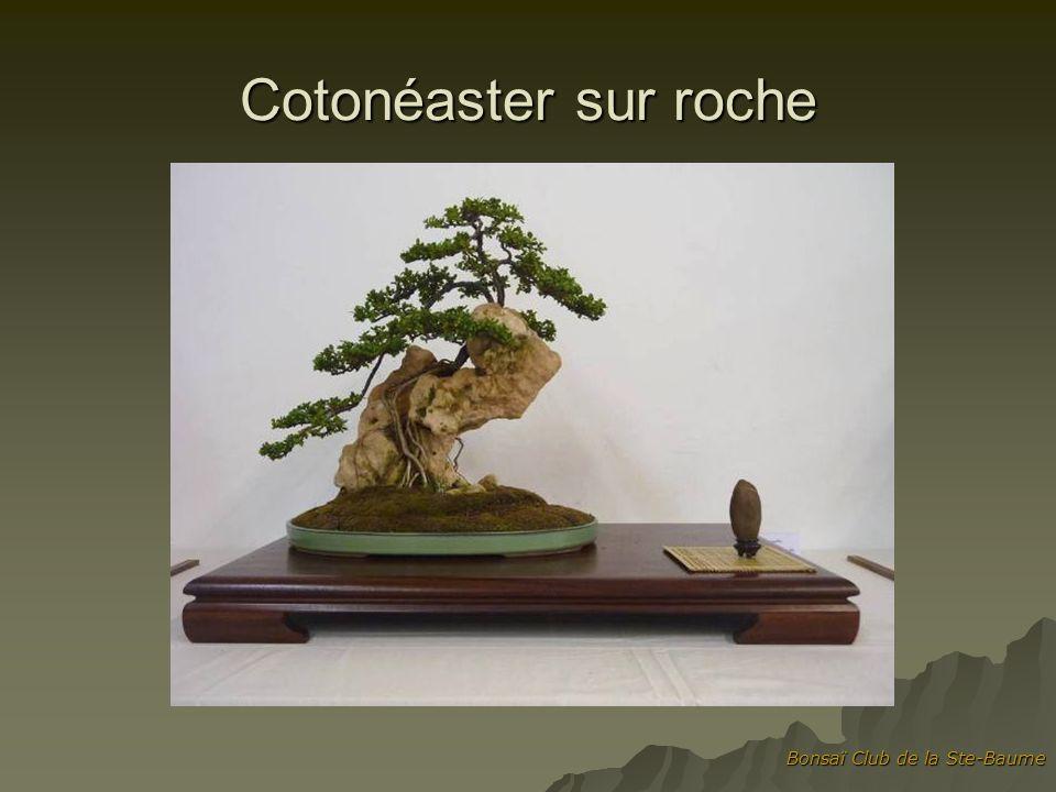 Cotonéaster sur roche Bonsaï Club de la Ste-Baume