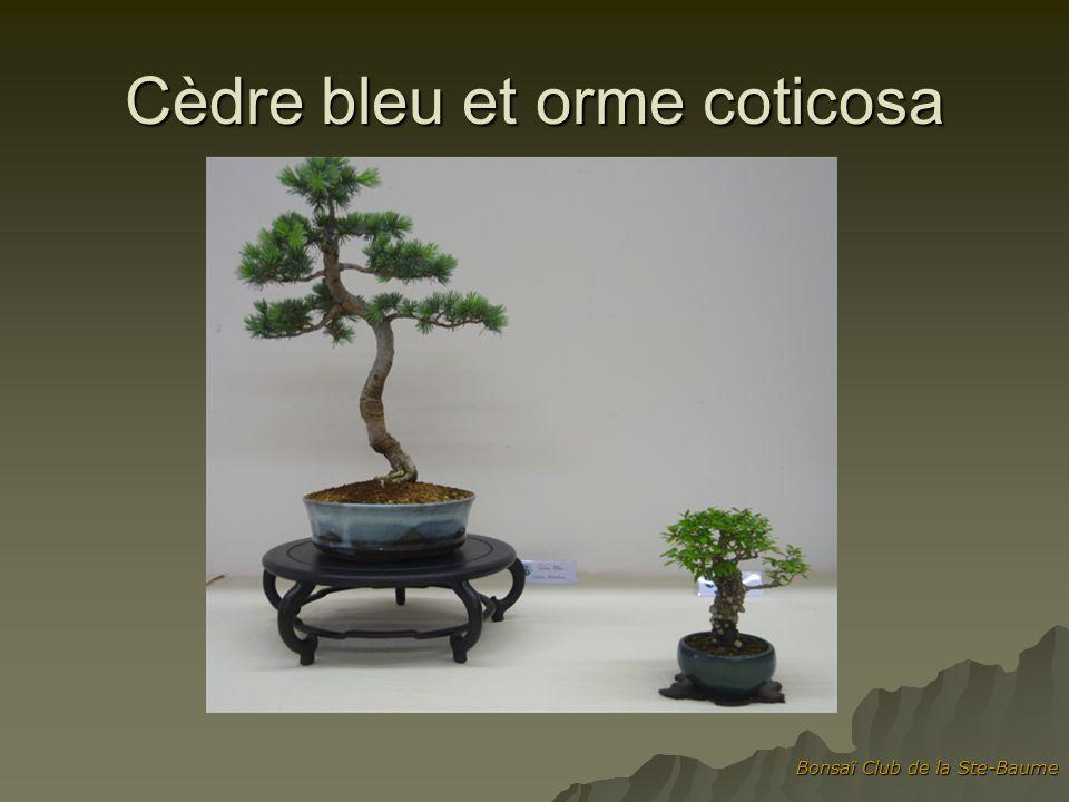 Cèdre bleu et orme coticosa
