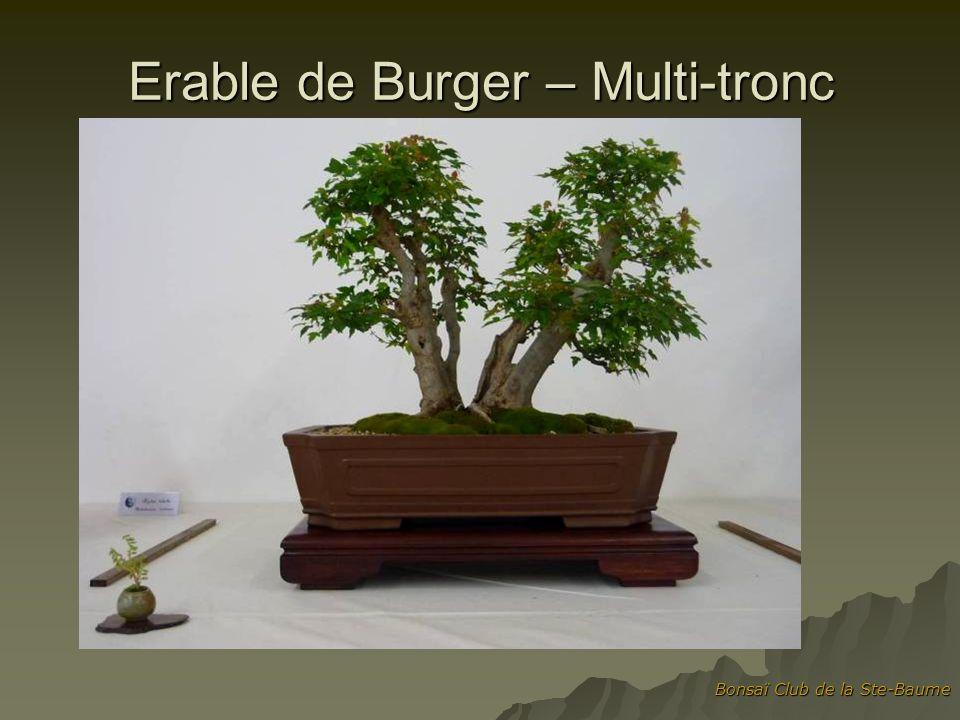 Erable de Burger – Multi-tronc