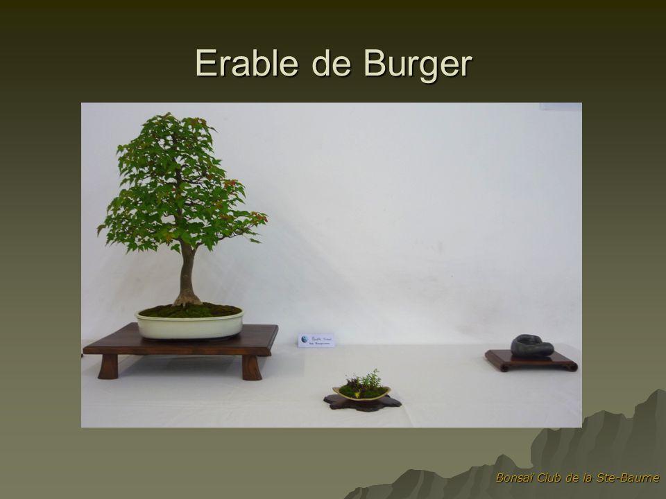 Erable de Burger Bonsaï Club de la Ste-Baume