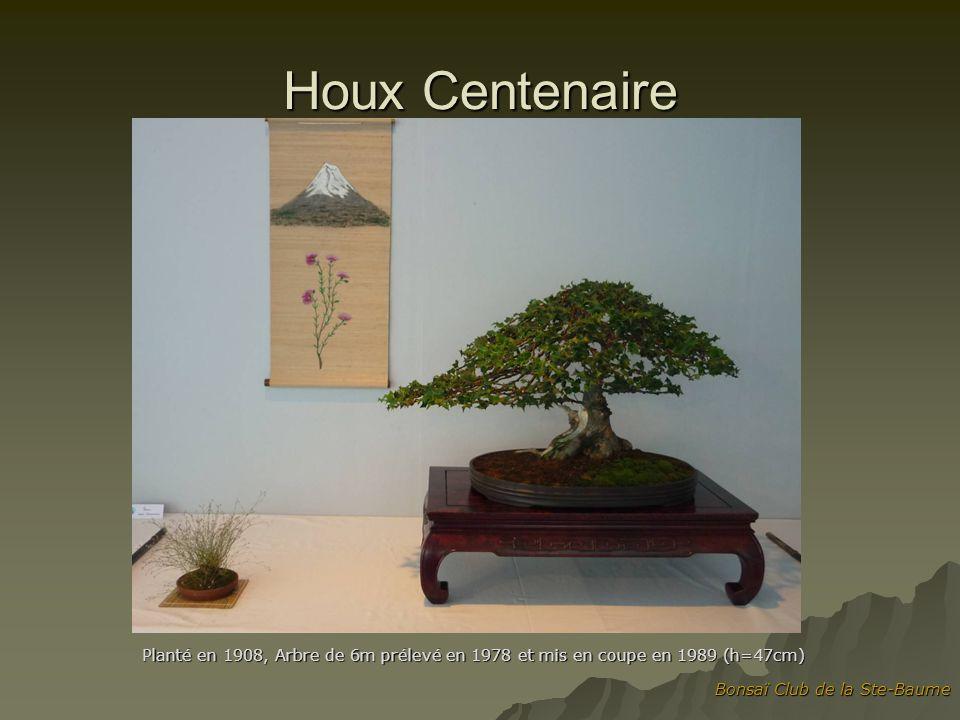 Houx Centenaire Planté en 1908, Arbre de 6m prélevé en 1978 et mis en coupe en 1989 (h=47cm) Bonsaï Club de la Ste-Baume.