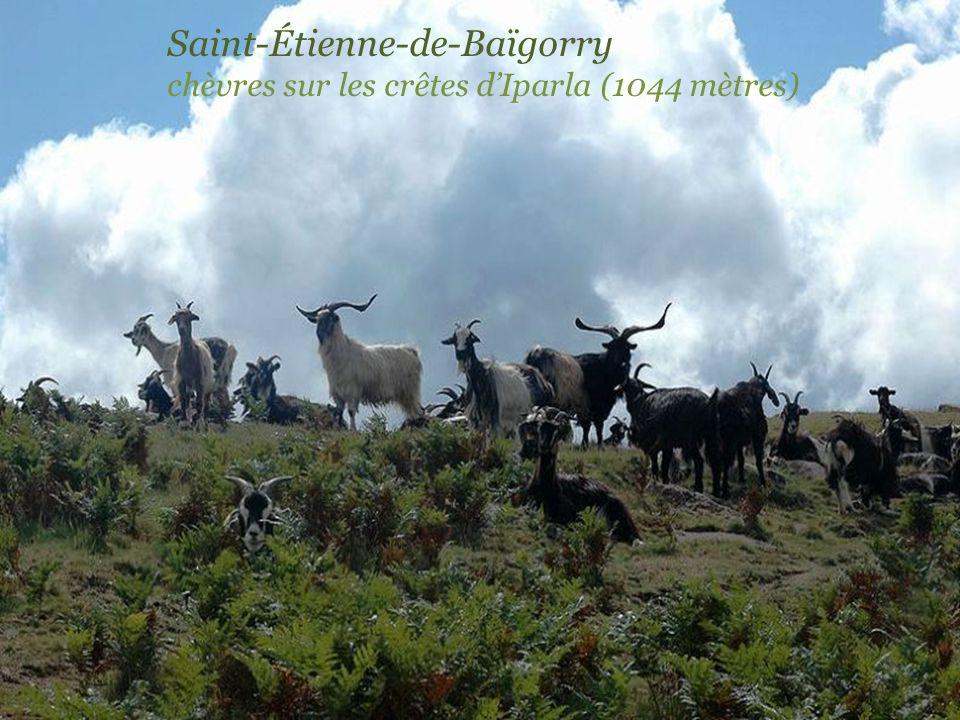 Saint-Étienne-de-Baïgorry chèvres sur les crêtes d'Iparla (1044 mètres)