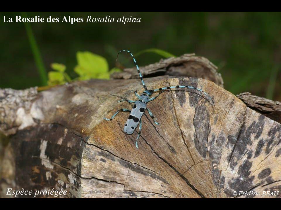 La Rosalie des Alpes Rosalia alpina