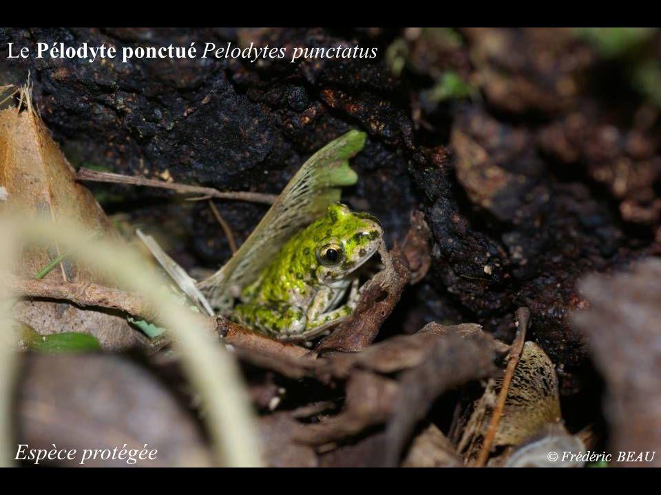 Le Pélodyte ponctué Pelodytes punctatus