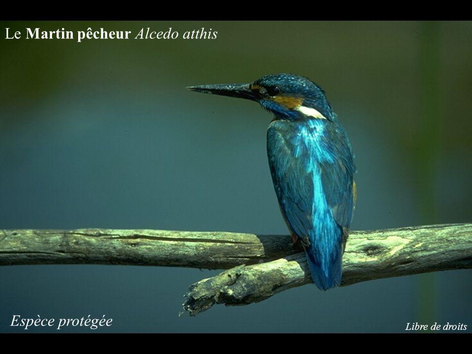 Le Martin pêcheur Alcedo atthis