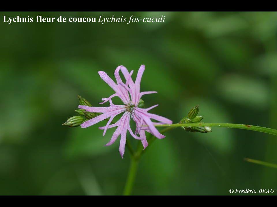 Lychnis fleur de coucou Lychnis fos-cuculi