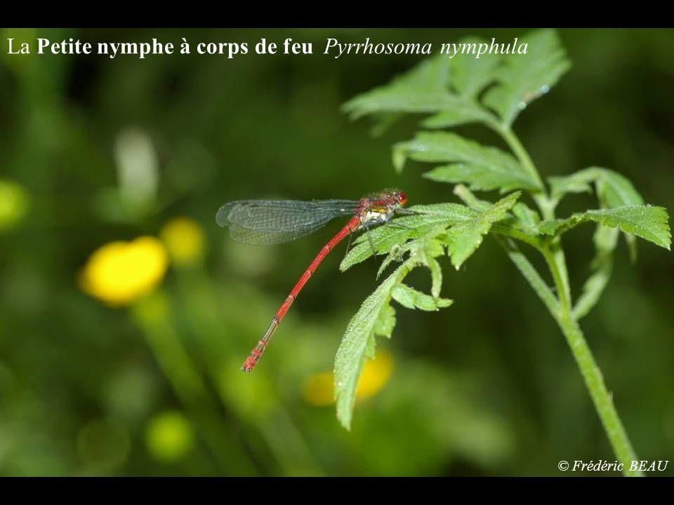 La Petite nymphe à corps de feu Pyrrhosoma nymphula