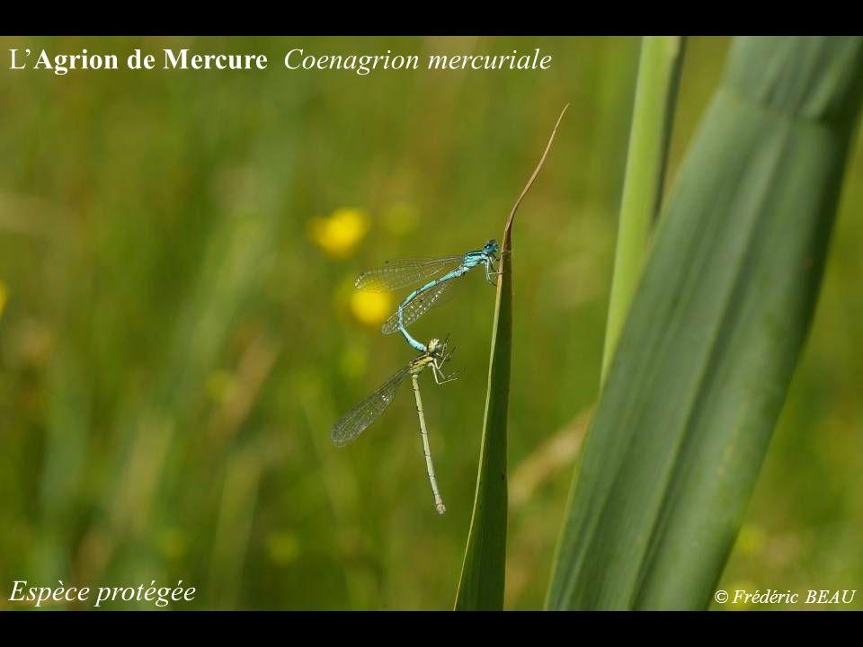L'Agrion de Mercure Coenagrion mercuriale