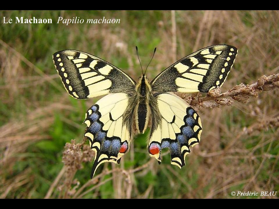 Le Machaon Papilio machaon