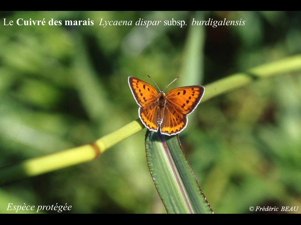 Le Cuivré des marais Lycaena dispar subsp. burdigalensis