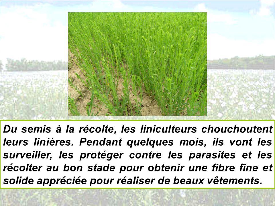 Du semis à la récolte, les liniculteurs chouchoutent leurs linières