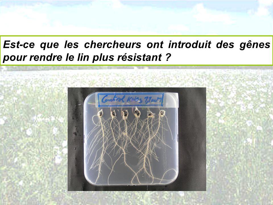 Est-ce que les chercheurs ont introduit des gênes pour rendre le lin plus résistant