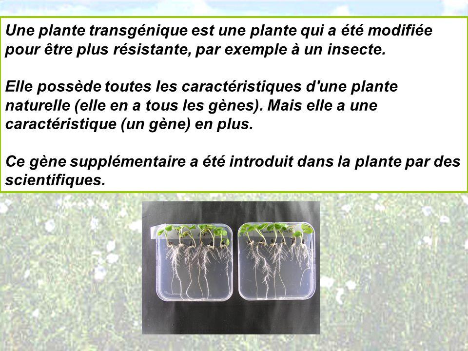 Une plante transgénique est une plante qui a été modifiée pour être plus résistante, par exemple à un insecte.