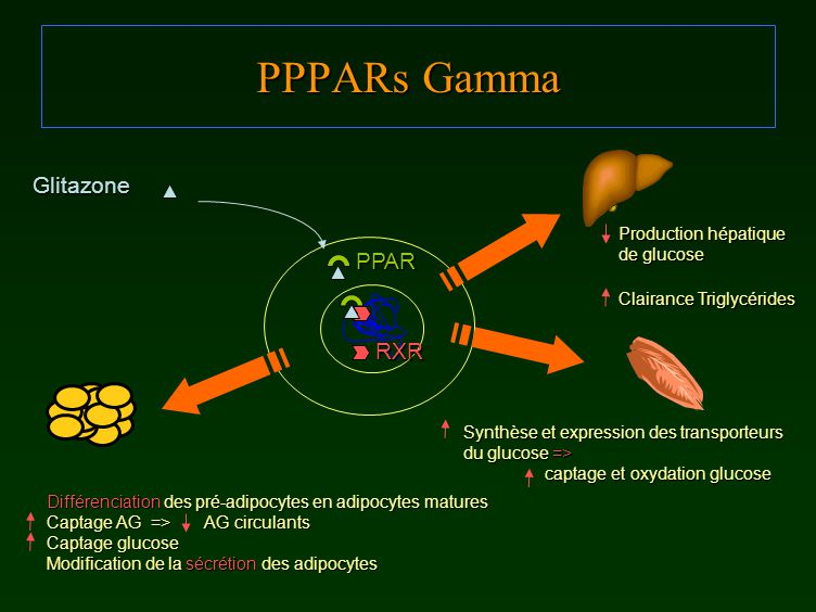 PPPARs Gamma Glitazone PPAR RXR Production hépatique de glucose