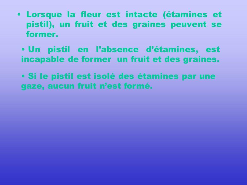 Lorsque la fleur est intacte (étamines et pistil), un fruit et des graines peuvent se former.