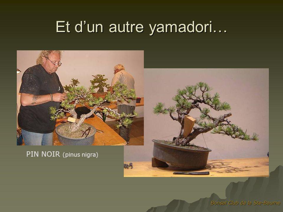 Et d'un autre yamadori…