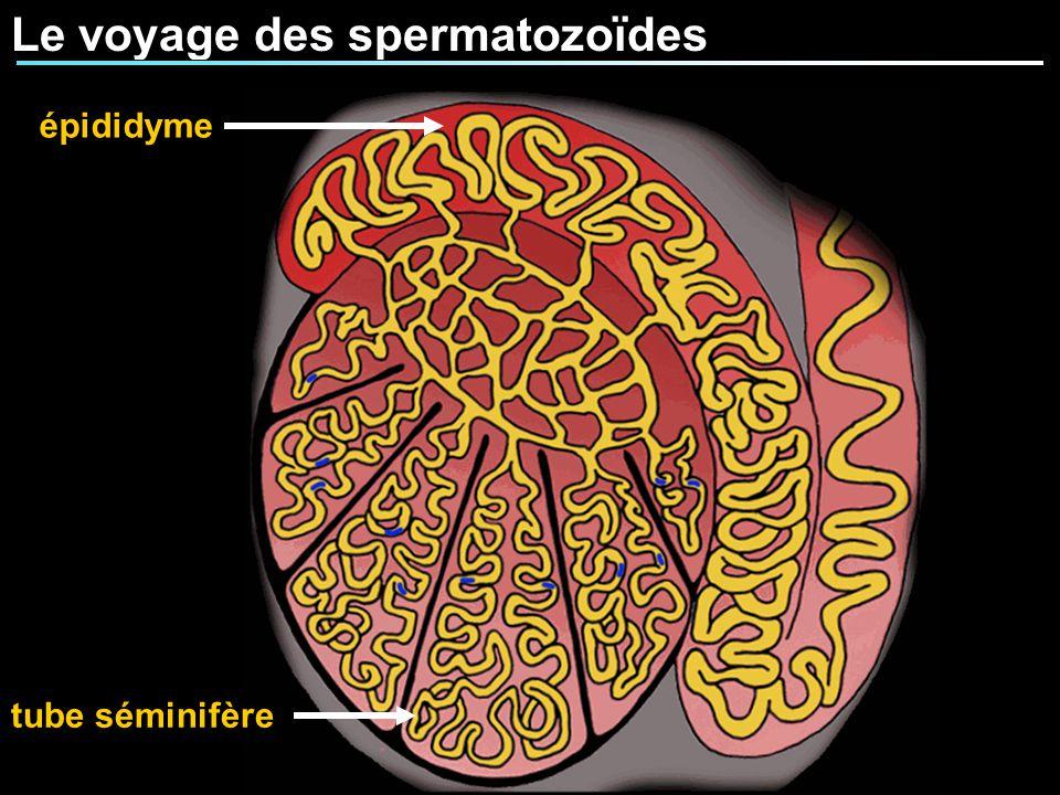 Le voyage des spermatozoïdes