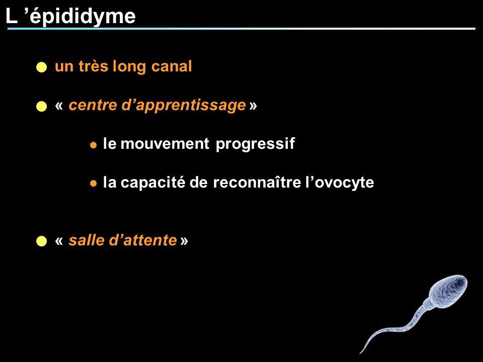 L 'épididyme un très long canal « centre d'apprentissage »