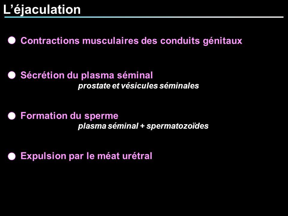 L'éjaculation Contractions musculaires des conduits génitaux