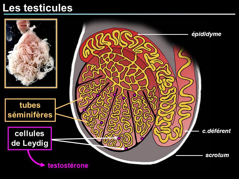 Les testicules tubes séminifères cellules de Leydig testostérone