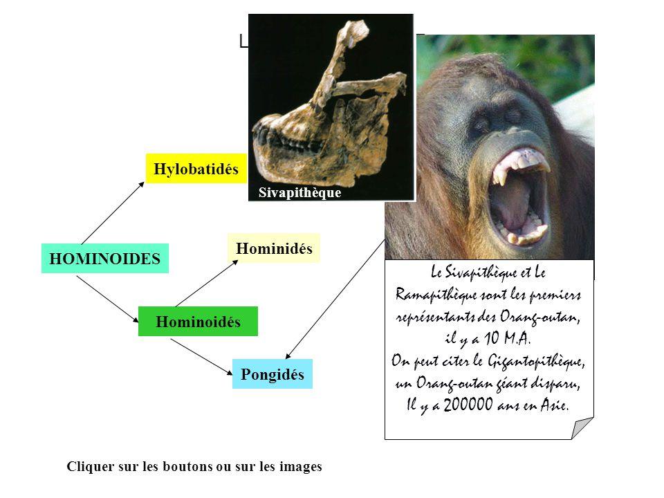 On peut citer le Gigantopithèque, un Orang-outan géant disparu,