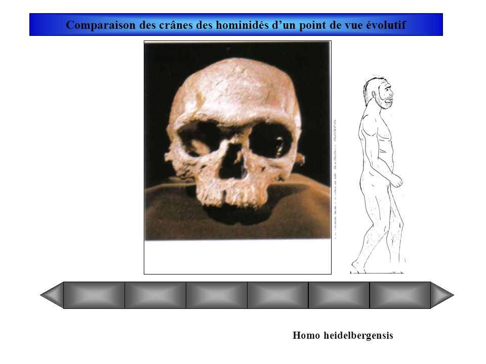 Comparaison des crânes des hominidés d'un point de vue évolutif