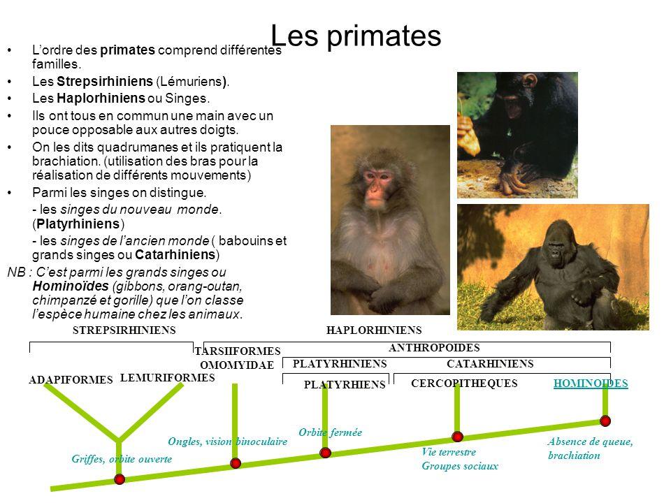 Les primates L'ordre des primates comprend différentes familles.